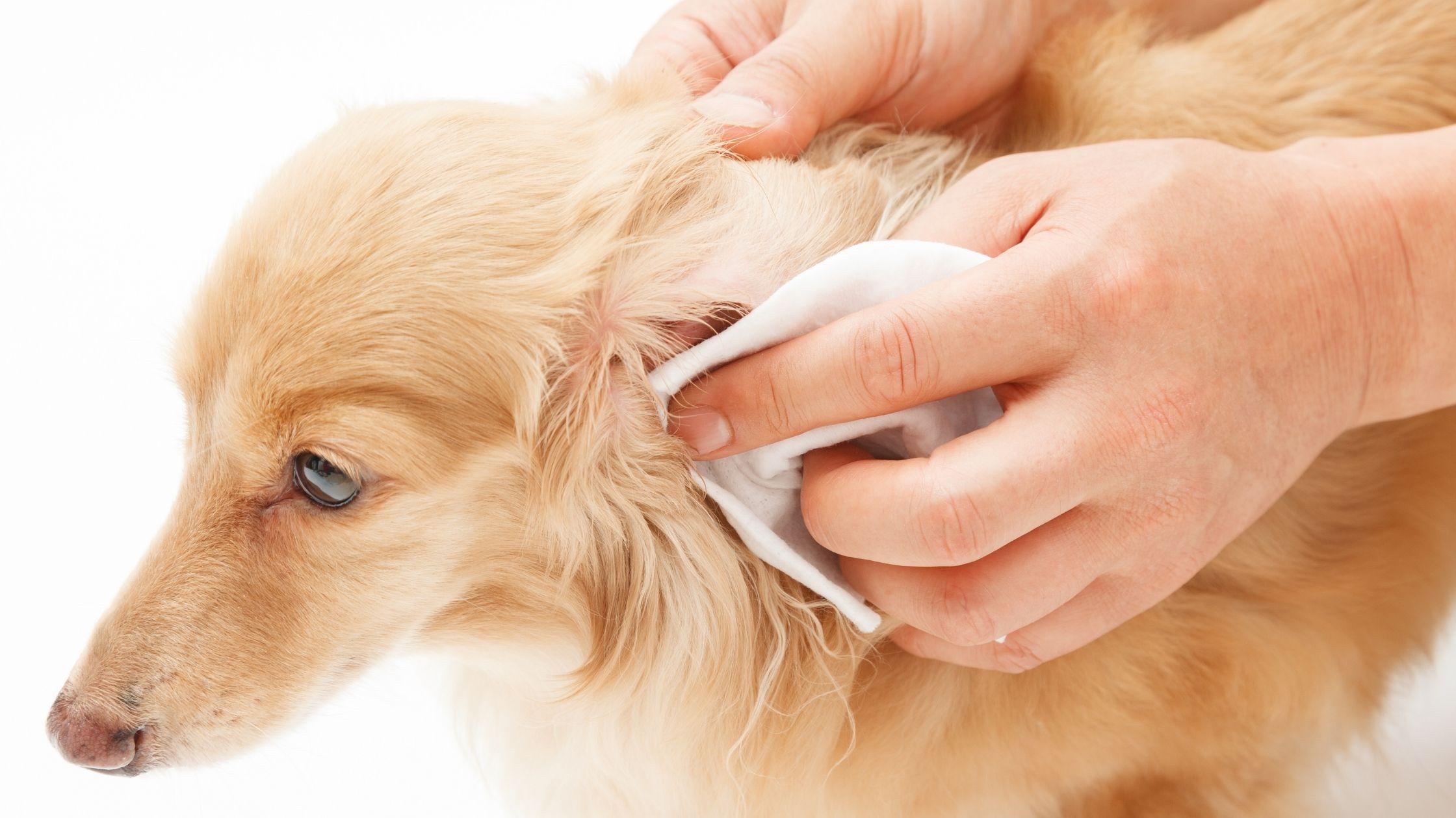 zapalenie ucha u psa